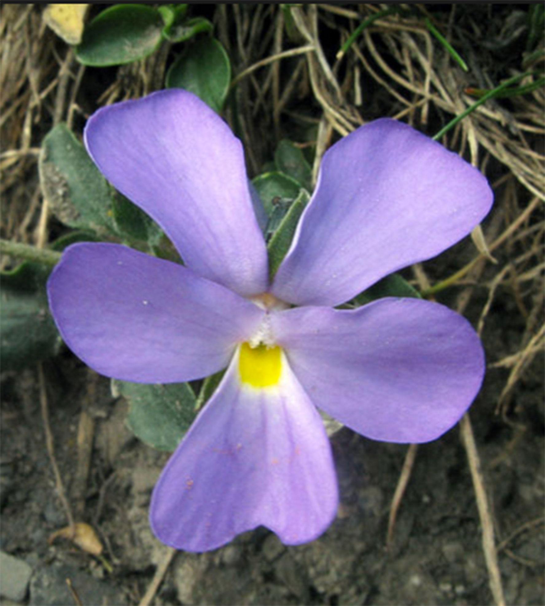 Viola-cenisia-L_web