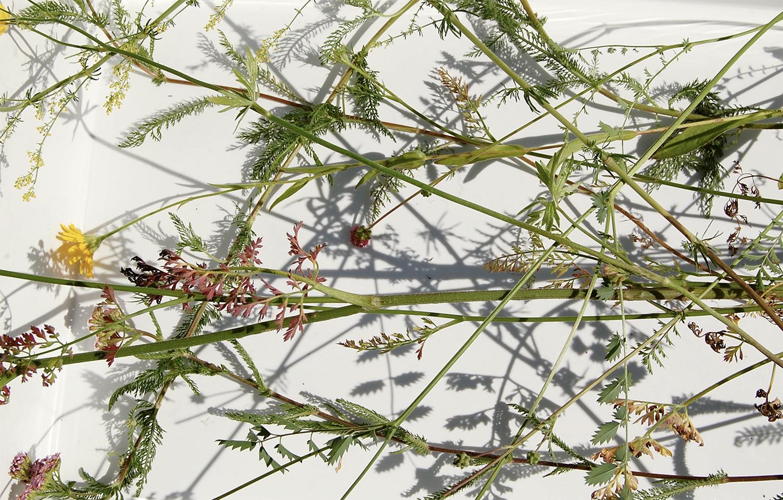 PAV_herbarium