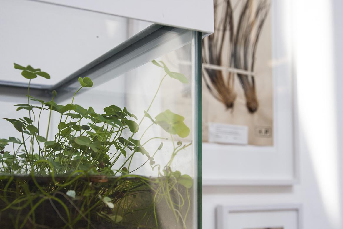 Immagine della pianta Marsilea in acquario